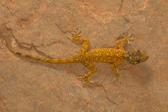 Męski złoty gekon, Calodactylodes aureus Visakhapatnam obrazy stock