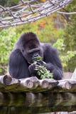 Męski Zachodni goryla goryla goryl obraz stock