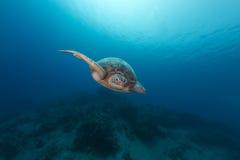 Męski zielony żółw w Czerwonym morzu Zdjęcia Stock