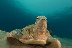 Męski zielony żółw w Czerwonym morzu Fotografia Royalty Free