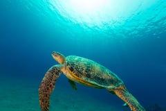 Męski zielony żółw w Czerwonym morzu Fotografia Stock