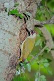 Męski Zielony dzięcioł przy gniazdową dziurą Fotografia Royalty Free