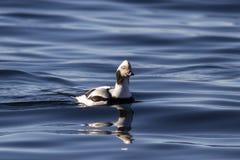 Męskie długoogonkowe kaczki unosi się w nawadniają zatoka Zdjęcie Royalty Free