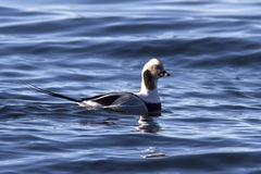 Męskie długoogonkowe kaczki unosi się w wodnej zimie Obrazy Stock