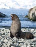Męskie futerkowe foki na plaży Antarktyczny. Obrazy Stock
