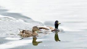 Męskie i żeńskie dzikie kaczki pływa w wodzie Zdjęcia Royalty Free