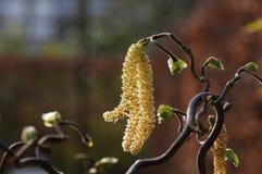 Męskie Orzechowe bazie corkscrew leszczyna (Corylus avellana contorta) zdjęcie stock