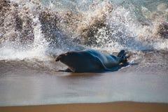 Męskie słoń foki przychodzi z wody w usa Zdjęcie Royalty Free