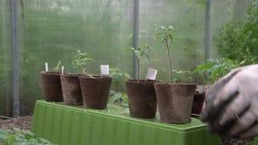 Męskiego średniorolnego mienia organicznie garnek z pomidorową rośliną przed zasadzać wewnątrz w ziemię Mężczyzna przygotowywa za zbiory