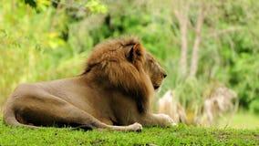 Grzywa afrykanina lew Fotografia Royalty Free