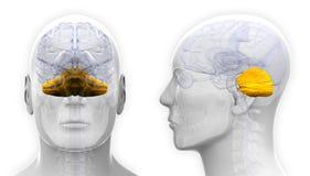 Męskiego Cerebellum Móżdżkowa anatomia - odizolowywająca na bielu ilustracja wektor