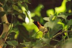 Męskiego długoogonkowego raju Vidua ptasi paradisaea Obrazy Stock