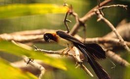 Męskiego długoogonkowego raju Vidua ptasi paradisaea Zdjęcia Royalty Free