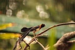Męskiego długoogonkowego raju Vidua ptasi paradisaea Zdjęcie Royalty Free
