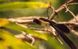 Męskiego długoogonkowego raju Vidua ptasi paradisaea Zdjęcia Stock