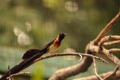 Męskiego długoogonkowego raju Vidua ptasi paradisaea Obraz Royalty Free