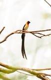 Męskiego długoogonkowego raju Vidua ptasi paradisaea Obraz Stock