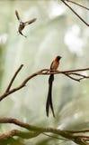 Męskiego długoogonkowego raju Vidua ptasi paradisaea Fotografia Royalty Free