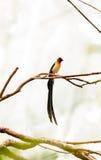 Męskiego długoogonkowego raju Vidua ptasi paradisaea Obrazy Royalty Free