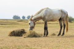 Męskiego konia łasowania sucha słoma w wiejskim polu Fotografia Stock
