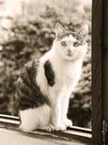 Męskiego kota czarny i biały sepiowy portret obraz royalty free