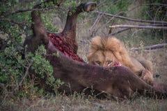Męskiego lwa łasowania bawoli zwłoka Zdjęcie Royalty Free