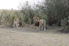 Męskiego lwa żeńska lwica w dzikim maasai Mara zdjęcia stock