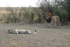 Męskiego lwa żeńska lwica w maasai Mara zdjęcia royalty free