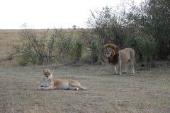 Męskiego lwa lwicy żeńska para w maasai Mara fotografia royalty free