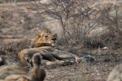 Męskiego lwa przyglądający up Obraz Royalty Free