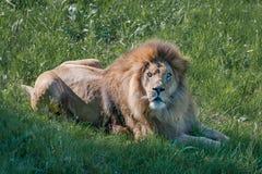 Męskiego lwa puszka łgarscy spojrzenia przy kamerą Obraz Stock