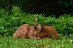 Męskiego Roe rogaczy, Capreolus capreolus sen, i odpoczywa wczesnego poranek zdjęcie stock