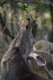 Męskiego sambar jeleni dojechanie dla liści Fotografia Royalty Free