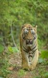 Męskiego tiher chodzący headon przy Tadoba Andhari tygrysa rezerwą fotografia royalty free