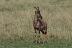 Męskiego Topi pastwiskowe Afrykańskie równiny Fotografia Stock