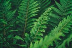 Męskiej paproci roślina w lesie Fotografia Royalty Free