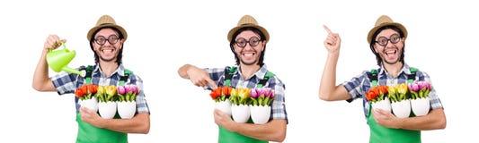Młoda śmieszna ogrodniczka z tulipanami i podlewanie puszką odizolowywał oin w obrazy royalty free