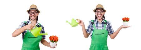 Młoda śmieszna ogrodniczka z tulipanami i podlewanie puszką odizolowywał oin w fotografia stock