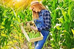 Młoda średniorolna dziewczyna na kukurydzanym polu Zdjęcie Royalty Free
