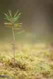 Młoda świerkowa drzewo flanca w mech Obrazy Stock