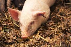 Młoda Świnia Zdjęcie Stock