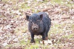 Młoda Świnia Fotografia Stock
