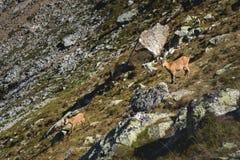 Młoda żeńska wysokogórska Capra koziorożec z lisiątkiem patrzeje pozycję na wysokości skał kamieniu w Dombay górach i kamerę zdjęcie stock