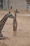 Młoda żyrafa Zdjęcia Stock
