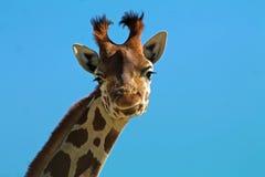 Młoda żyrafa Fotografia Stock