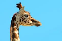 Młoda żyrafa Obraz Royalty Free