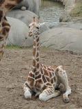 Młoda żyrafa Obrazy Royalty Free