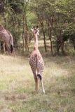 Młoda żyrafa chodząca daleko od Obrazy Royalty Free