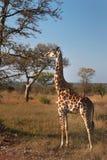 Młoda żyrafa drzewem wokoło jeść w Timbavati gry rezerwie zdjęcia royalty free
