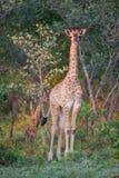 Młoda żyrafa gapi się przy kamerą Obrazy Stock